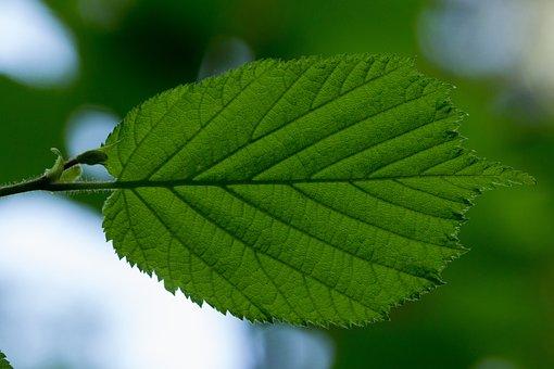 Leaf, Hazel, Hazel Leaf, Leaf Veins, Leaf Structure