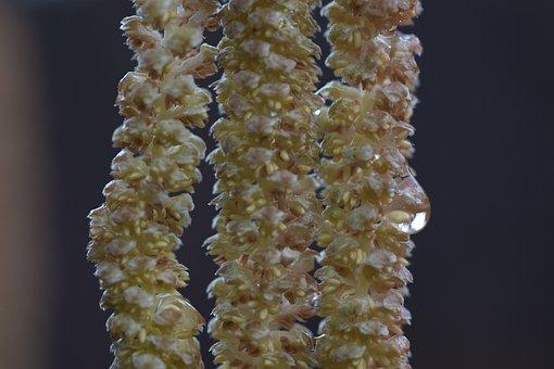 Hazelnut, Hazel, Spring, Frühlingsanfang, Inflorescence