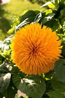 Sun Flower, Filled, Gene Defect, Model Arles