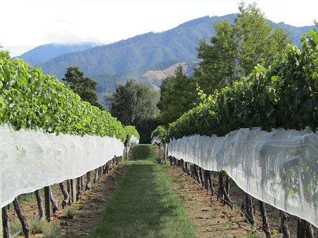Vineyard, New Zealand, Grapes, Mountains, Vine