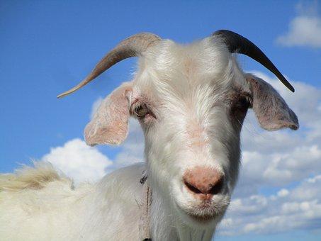 Goat, Animal, Blue, Farm, Nature, White, New Zealand