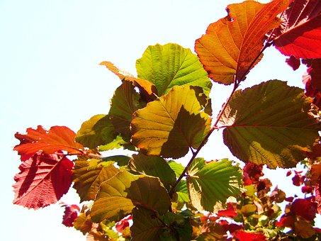 Hazel, Colorful Leaves, Nature