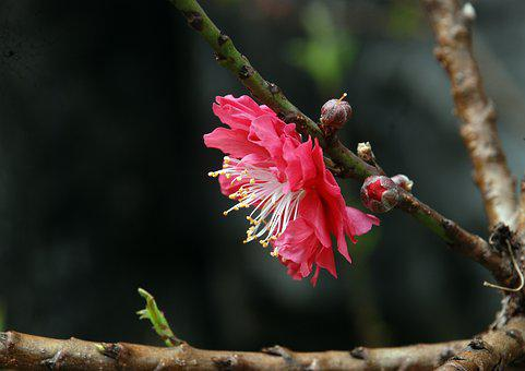 Peach Blossom, Baiyun Mountain, Tourism, Pink Flower