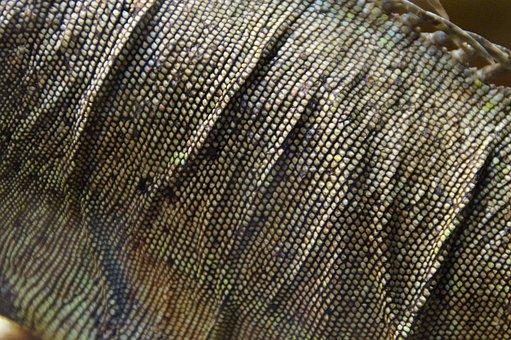 Iguana, Section, Detail, Skin, Iguana Skin, Scale