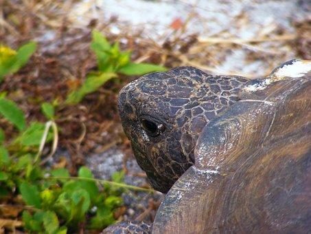 Gopher Tortoise, Gopherus Polyphemus, Turtle, Slow