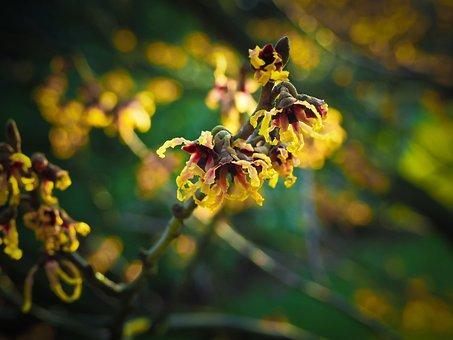 Blossom, Bloom, Witch Hazel, Bloom, Spring, Flower