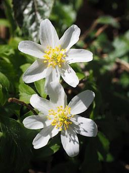 Flowers, White, Wood Anemone, Flower, Anemone Nemorosa