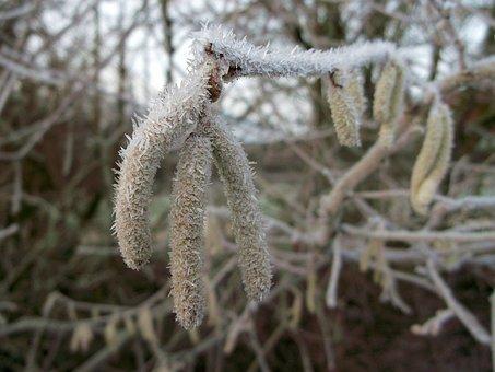 Hazel, Birch Greenhouse, Winter, Frost, Common Hazel