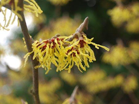 Witch Hazel, Blossom, Flower, Spring, Nature