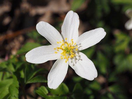 Wood Anemone, Blossom, Bloom, Flower, White