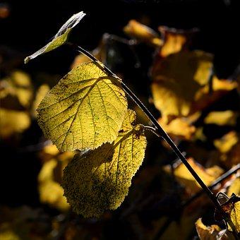 Hazel, Autumn, Yellow, Golden, Leaves In The Autumn