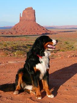 Bernese Mountain Dog, Canine, Dog, Animal