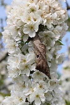 Flowers, Pear Branch, Spring, Bloom, Lush
