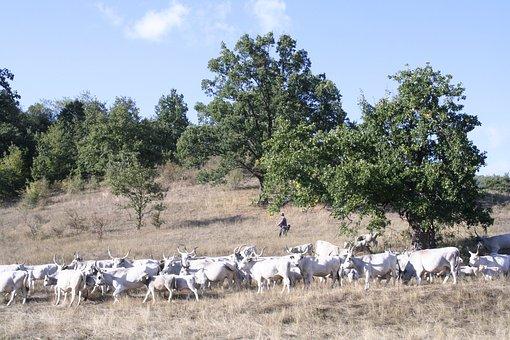 Bogács, Hungarian Grey Cattle, Robert Gulya