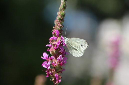 Butterfly, White, Beautiful, Stylistic, Calming, Insect