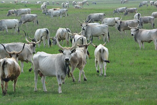 Hungarian Grey Cattle, Robert Gulya, Cumania