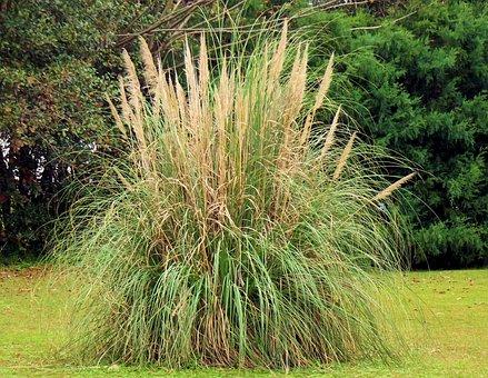 Pampas Grass, Dangerous, Rodent Hideaways, Nature