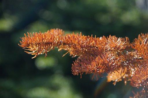 Fir Needle, Waldsterben, Dead Plant, Brown, Branch