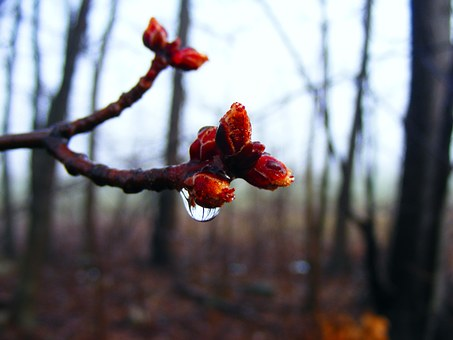 Budding, Close-up, Buds, Spring, Bud, Fresh, Season