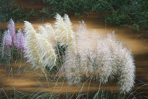 Grass, Ornamental, Featherly, Blooms, Pampas, Heirloom