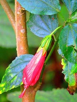 Lantern Flower, Flower, The Pods, Beautiful Flowers