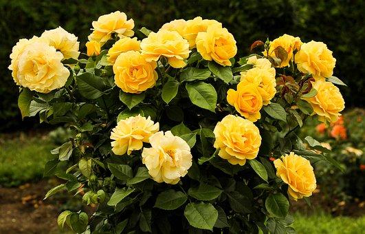 Rose Bush, Flowers, Yellow Flower, Foliage, Leaf