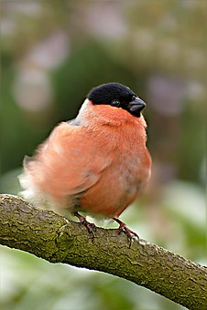 Bullfinch, Pyrrhula, Bird, Males, Spring Dress, Wind