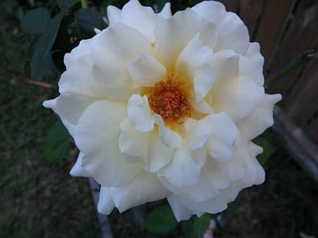 Rose, Scented, Beauty, Bloom, Flower, Scent, Natural