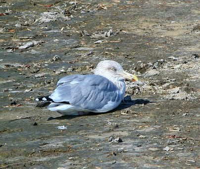 Seagull, Gull, Waterfowl, Bird, Ocean, Wildlife, Flight
