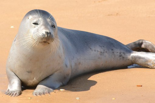 Seal, Harbor Seal, Young, Ocean, Harbor, Marine, Water