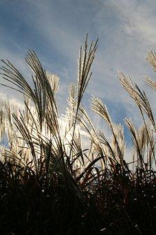 Pampas Grass, Grass, Ornamental Grass, Plume, Erianthus