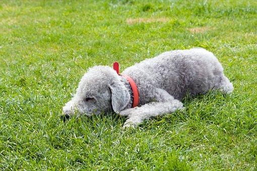 Bedlington Terrier, Dog, Pet, Animal, Canine, Terrier
