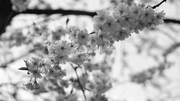 Blossom, Bloom, Bud, Pink, Cherry Blossom, Nature