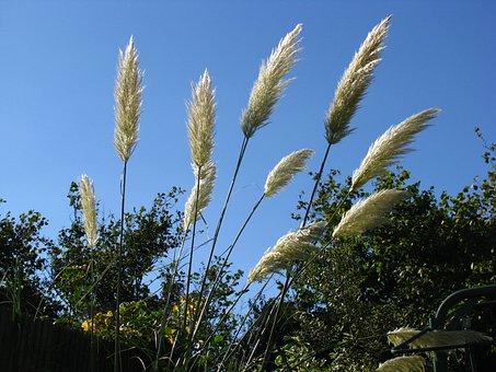 Pampas Grass, Sky, Pampas, Grass, Plant
