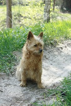Dog, A Yorkshire, Small, Animal, Beige, Sand, Green