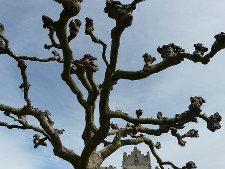 Sycamore, Tree, Platanus, Platanengewaechs, Platanaceae