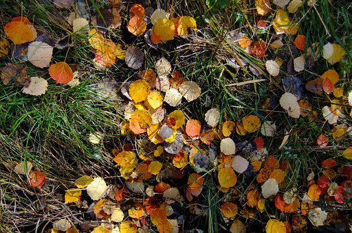The Leaves, In Xinjiang, Kanas, Ground, Autumn