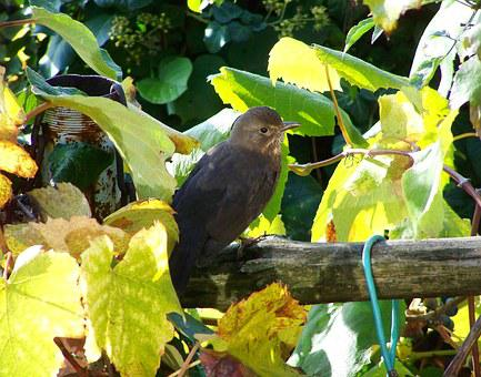 Blackbird, Female, Bird