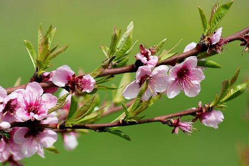 Flower, Pesco, Spring, Fiori Di Pesco, Bloom, Colorful