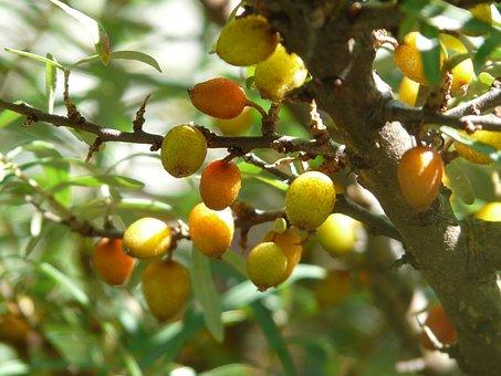 Berries, Sea Buckthorn, Bush, Fruits
