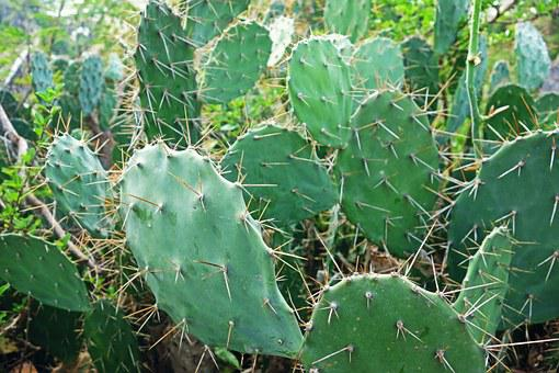 Plant, Cactus, Nature, Green, Succulent, Botany, Desert