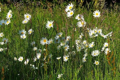 Meadow, Flowers, Daisies, Summer, Garden, Rush