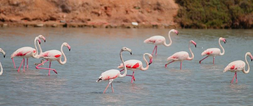 Flamenco, Salinas, San Pedro Pinatar, Birds, Flemish