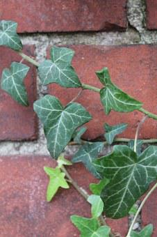 Ivy, Clinker, Green, Red, Plant, Autumn, Nature, Stone