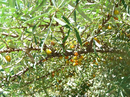Sea Buckthorn, Berries, Bush, Hippophae Rhamnoides