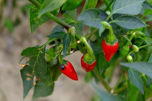 Red Chilly, Sharp, Leaves, Bug, Plant, Park, Pepper