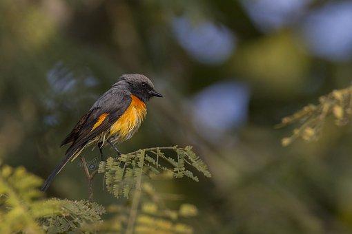 Bird, Mysore, India, Deejayclix, Tree, Perched, Minivet
