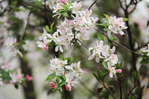 Cherry Blossom, Peony, March, Spring, Flower, Bloom