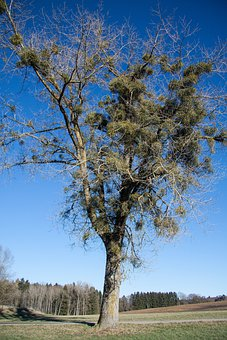 Poplar, Tree Mistletoe, Recovery, Hiking, Away