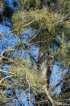 Poplar, Tree Mistletoe, Nature Conservation, Nature